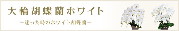 大輪胡蝶蘭ホワイト
